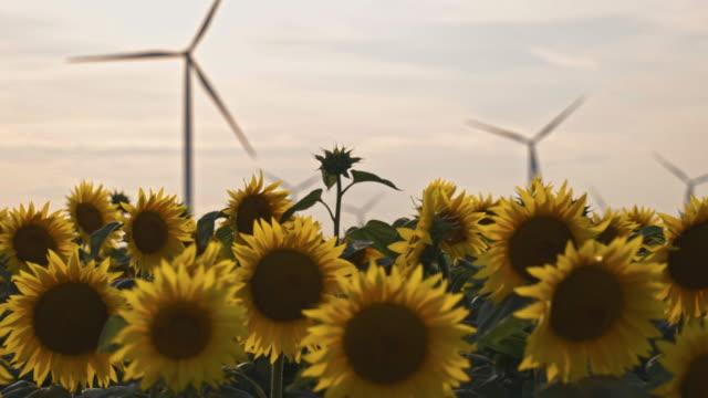 schöne sonnenblumen im landwirtschaftlichen feld mit windkraftanlage bei sonnenuntergang - elektrischer generator stock-videos und b-roll-filmmaterial
