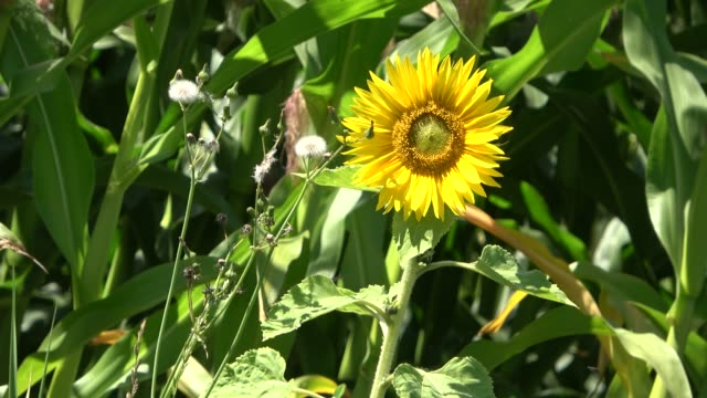 Beautiful sunflowers moving in the wind in front of a crop field