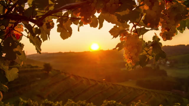 T/L Beautiful sunrise over the vineyard video