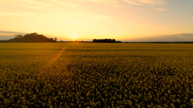 HD HELI: Beautiful Sunset Over The Canola Field video