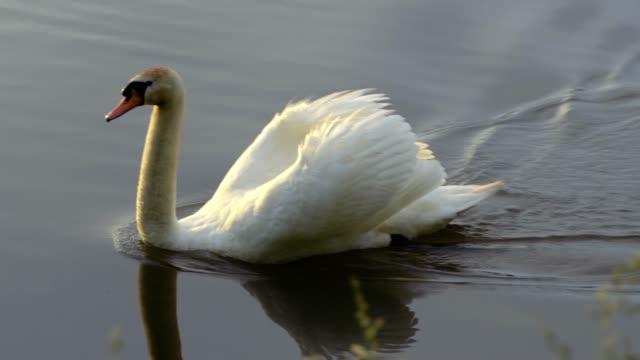 ein schöner schwan fliegen auf dem see - schwan stock-videos und b-roll-filmmaterial