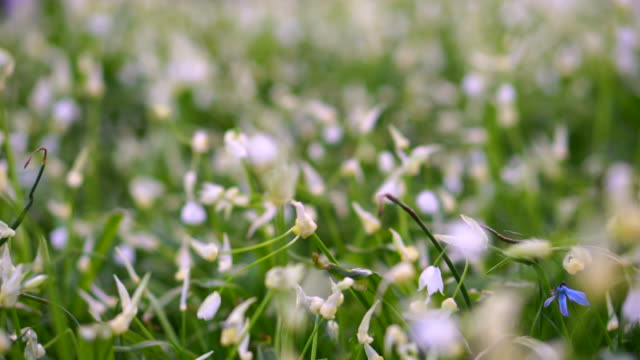Beautiful swaying field of snowdrops flower growing after winter video