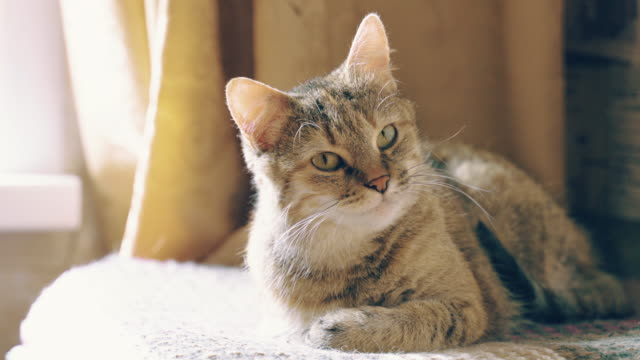 beautiful tabby cat - gatto soriano video stock e b–roll