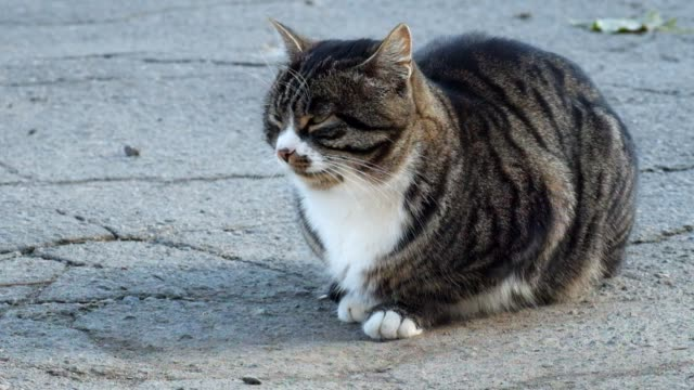 Beautiful tabby cat with a white collar sits on the asphalt and looks around video