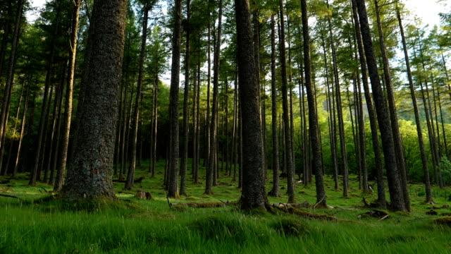 vídeos y material grabado en eventos de stock de bosque de coníferas de altura hermosa - pino conífera