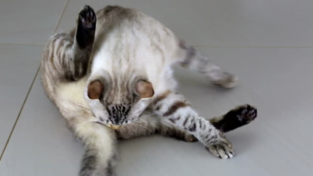 Beautiful Thai cat licks his body Beautiful Thai cat licks a his body. shorthair cat stock videos & royalty-free footage