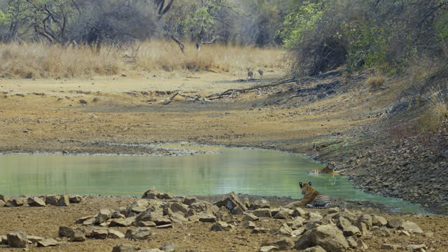 A beautiful Tiger couple relaxing in a water body in Tadoba Andhari Tiger Reserve in slow motion