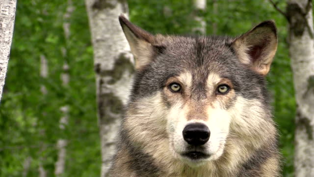bellissimo legname wolf - lupo video stock e b–roll