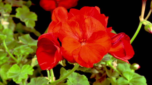 Beautiful Time Lapse of Blooming Red Geranium video