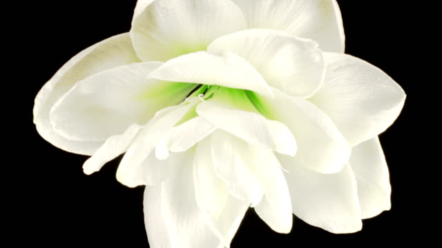 Beautiful Time Lapse of Growth and Openingof White Hippeastrum ( Amarilis ) Flower Buds video