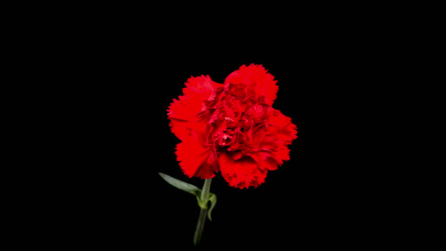 Beautiful Time Lapse of Opening Carnation Flower video