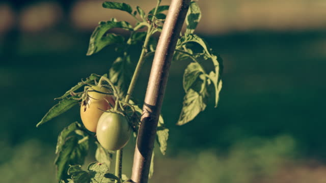 Beautiful tomatoes on the bush. Back yard garden video