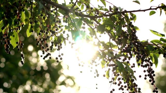 vackra träd med svarta bär med solljus. - lucia bildbanksvideor och videomaterial från bakom kulisserna