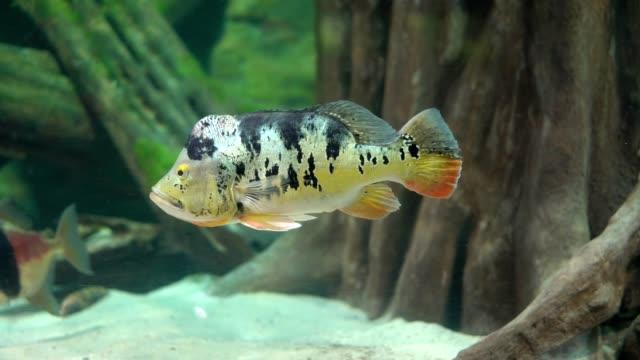 Beautiful tropical fish swimming video
