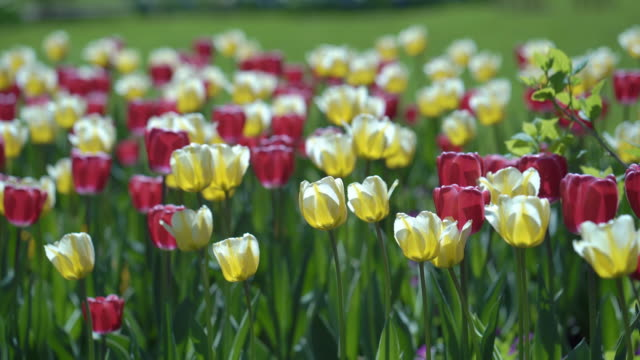 beautiful tulip field in moscow. video
