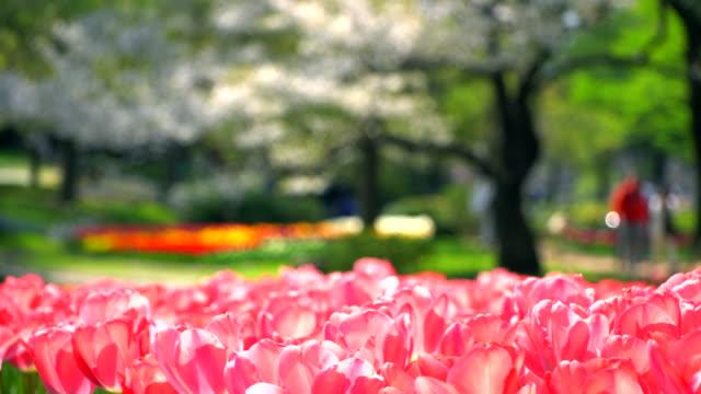 Beautiful Tulip Pink in Japan