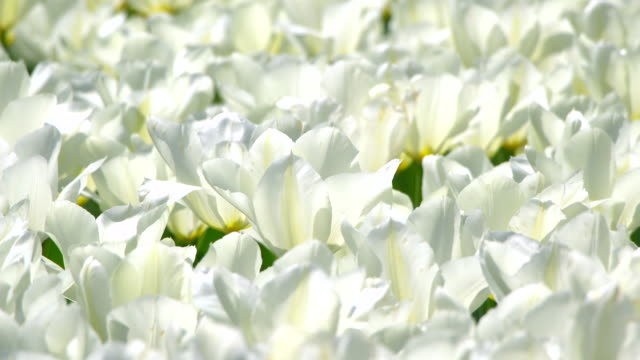 Beautiful Tulip white in Japan