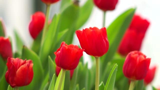 Beautiful tulips flower in garden