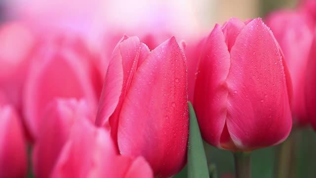 stockvideo's en b-roll-footage met hd: beautiful tulips - fresh start yellow