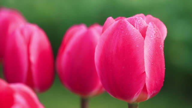 HD: Beautiful Tulips video