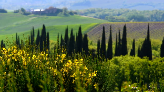 beautiful tuscan landscape near siena, with cypress trees and yellow broom flowers on foreground. italy - paesaggio collinare video stock e b–roll