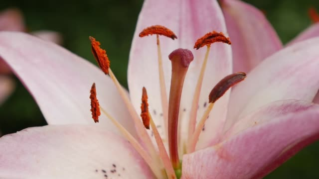 beautiful varietal lilies close-up on flower bed. pink lily flowers swaying in the wind daylily - stame video stock e b–roll
