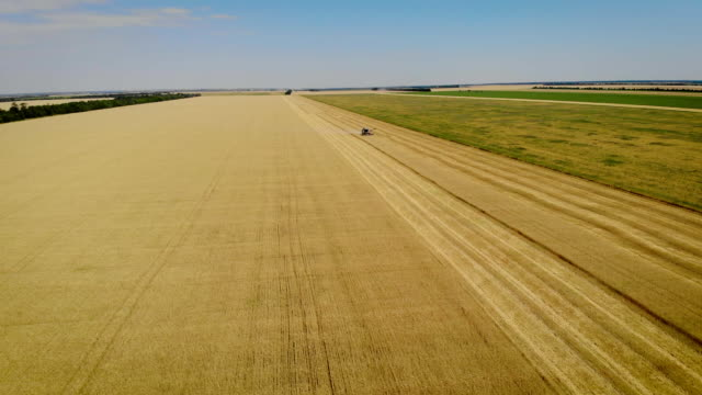 beautiful view from air of large yellow field on which gray combine threshes ripe wheat or barley - orzo video stock e b–roll