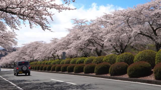 vídeos de stock e filmes b-roll de beautiful view of cherry blossom tunnel along both sides of street in japan. - passagem de ano