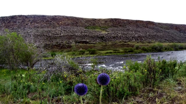 Beautiful View of Number of Few Purple Flowers on a Background of a Mountain River Flowing Away in The Midst of Tthe Mongolian Steppe video