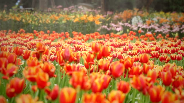 Beautiful view of red tulips video