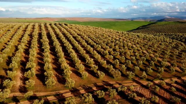 vacker utsikt med en drönare över olivträds fälten i marocko. beskåda över torra jordbruks-sätter in av oliv under sunen, med endast sätter in i horisonten. - fruktträdgård bildbanksvideor och videomaterial från bakom kulisserna