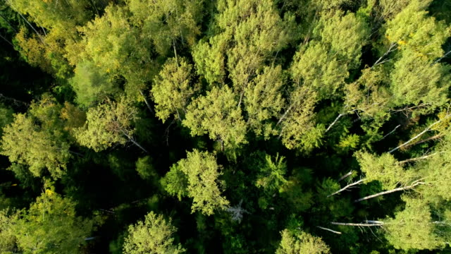 Beautiful views of the forest from a bird's flight. Tree tops painted yellow from the setting sun