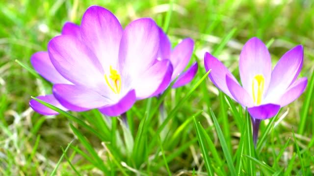 Beautiful violet crocuses grow in meadow. Early spring flowers. video
