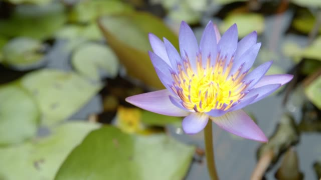 beautiful  violet Lotus flower in the pond