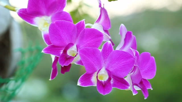 Beautiful violet orchids video