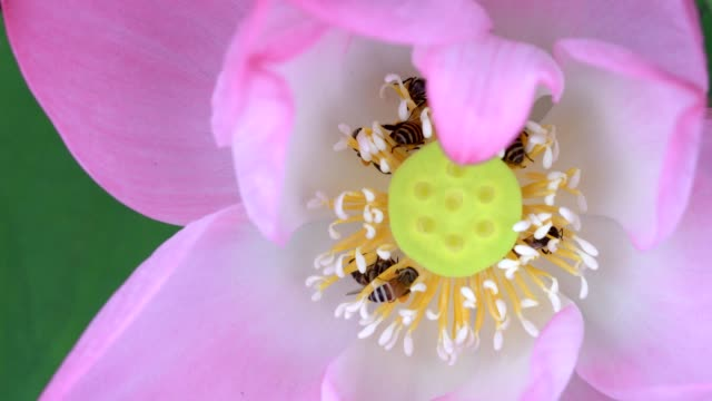 Beautiful Water Lily with Bee flying close up in the garden