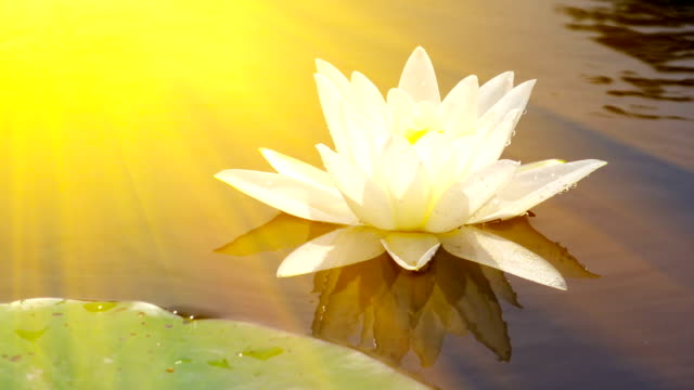 Beautiful waterlily in the golden sunrays video