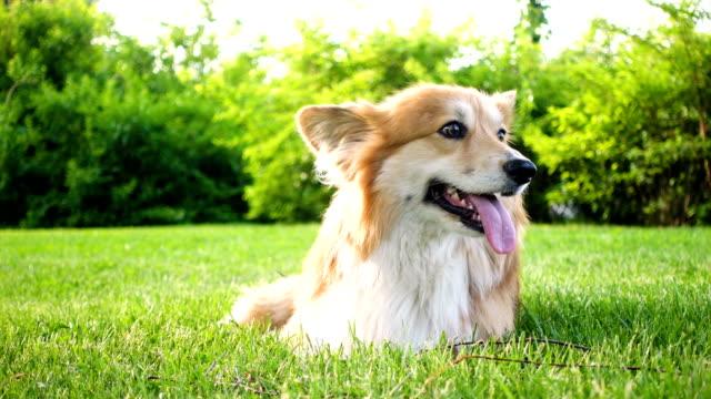 beautiful welsh corgi fluffy sitting on a green lawn beautiful welsh corgi fluffy sitting on a green lawn purebred dog stock videos & royalty-free footage