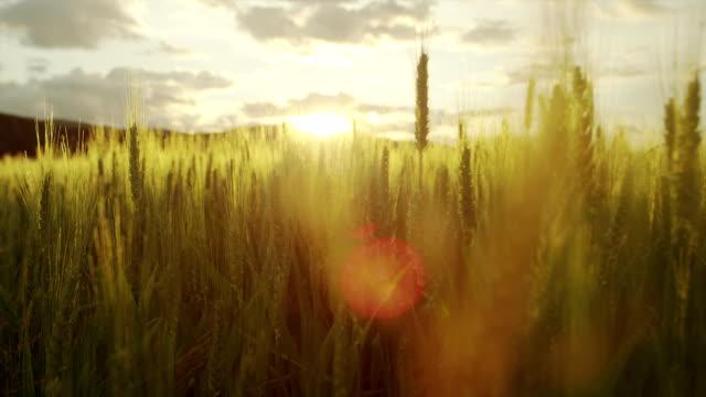 AERIAL: Beautiful wheat field at sunrise