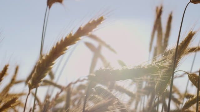 Schöne Weizenfeld mit blauen Himmel und epische Sonnenlicht - Schuss auf rot – Video