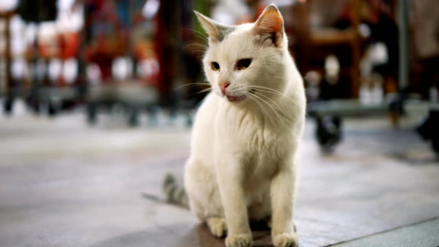 Hermoso gato blanco - vídeo