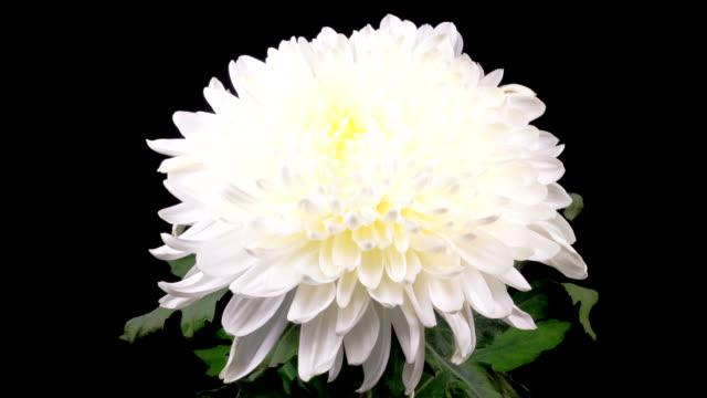beautiful white chrysanthemum flower opening - kwitnąć filmów i materiałów b-roll