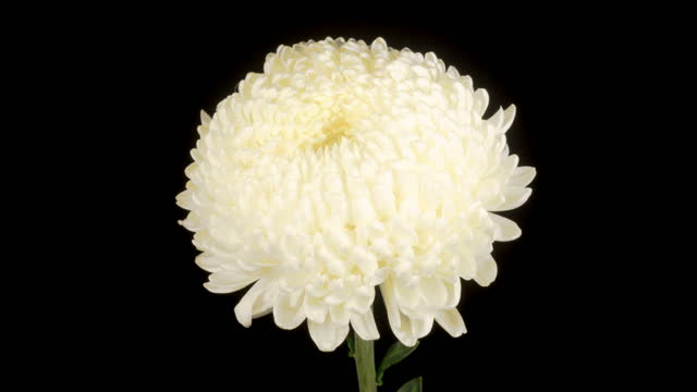 Beautiful White Chrysanthemum Flower Opening video