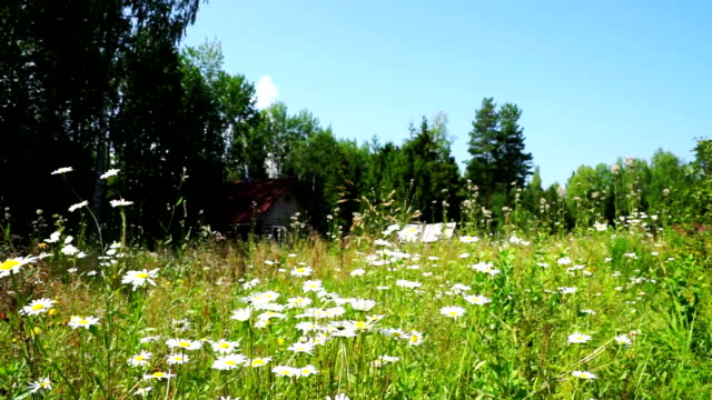 Beautiful White Daisy Flowers at Summer field video