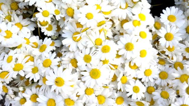 beautiful white daisy flowers macro view - нивяник стоковые видео и кадры b-roll