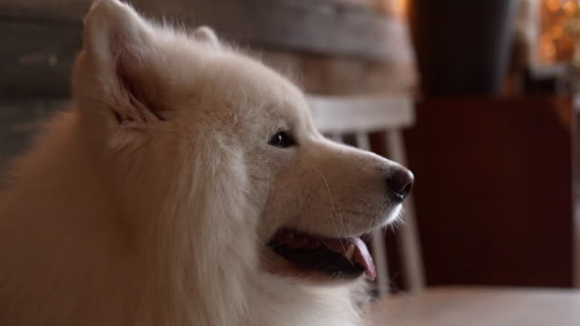 vídeos de stock e filmes b-roll de beautiful white dog of breed samoyed breathes with his tongue sticking out. - samoiedo