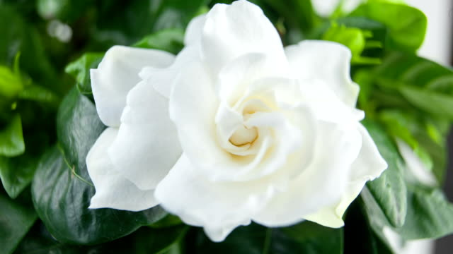 beautiful white flower gardenia on  green background beautiful white flower gardenia on  green background potted plant stock videos & royalty-free footage