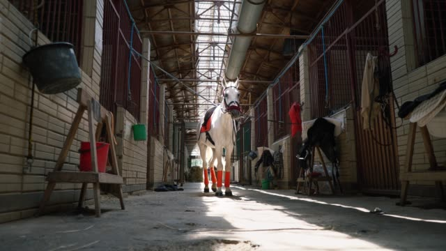 a beautiful white horse in check and with a saddle stands in the middle of the stables - sella video stock e b–roll