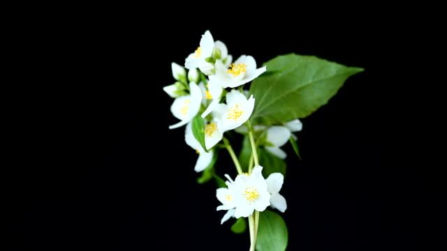 schöne weiße jasminblüten auf einem ast, der auf schwarz isoliert ist - jasmin stock-videos und b-roll-filmmaterial