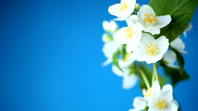 schöne weiße jasminblüten auf einem ast, der auf blau isoliert ist - jasmin stock-videos und b-roll-filmmaterial